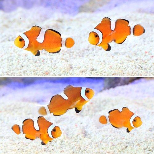 (海水魚 熱帯魚)カクレクマノミ イレギュラーバンド(国産ブリード)(3匹) 本州・四国限定[生体]