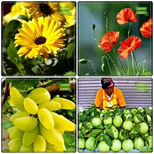 BloomGreen Co. Fruit Graines de jardin Combo Fruit: Raisin, Thaïlande goyave, Calendula- jaune, Eschscholzia Graines de fleurs pour le jardinage