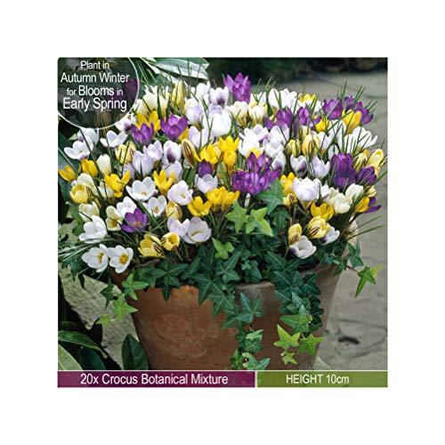 20 x Crocus Botanical Mixed – Provides Winter Garden Color- Welcome Sight- for a Beautiful Spring Garden