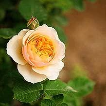 juliet rose bush