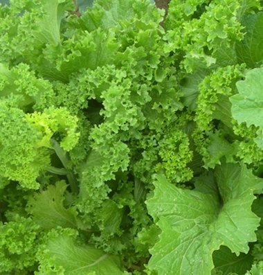 David's Garden Seeds Mustard Greens Southern Giant Curled 3747 (Green) 500 Non-GMO, Heirloom Seeds