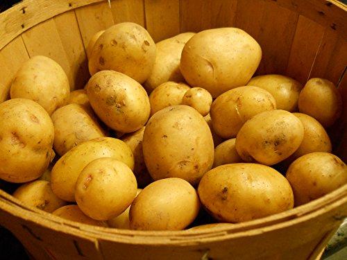 SEED POTATOES - 5 lb Yukon Gold * Organic Grown * Non GMO * Virus &...
