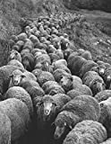 Notebook: Sheep the flock animals farm wool agriculture wool herd cattle livestock dairy merino
