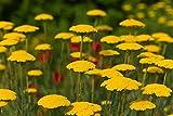Tela de oro, semillas de milenrama de Fernleaf - Achillea filipendulin