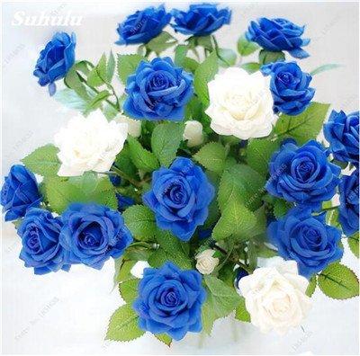 Livraison gratuite 100 pcs rare Hollande Rose Seed Fleurs Amant colorés jardin Plantes d'intérieur Bonsai Rose Graines de fleurs 24
