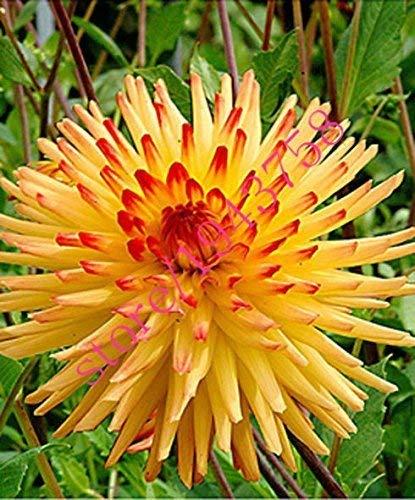 Bonsai Coleus seeds foliage plants perfect color Arc-Dragon Seeds beautiful flower plant garden Semente 30 seeds k42 2