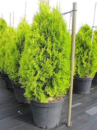 Thuja occidentalis Golden Smaragd (R) - Lebensbaum Golden Smaragd (R)