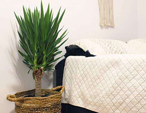 Yucca Cane Plant - Live Plant in a 8 Inch Pot - Yucca Guatemalensis - Beautiful Easy Care Air Purifying Indoor Houseplant