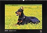 Dobermann 2020 - Black Edition - Timokrates Kalender, Wandkalender, Bildkalender - DIN A3 (42 x 30 cm)