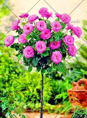 ShopMeeko SEEDS: 100pcs / bag Seltene und bunten Rosenbaum pflanzt Gärten Pflanze Topfpflanzen Bonsai, Balkone und Hof Flora Pflanze: 12