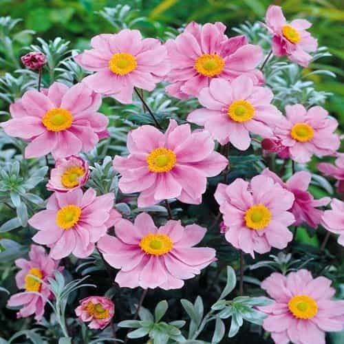 TOMASA Jardin-Anémona rara híbrida Honorine, anémona serenada perenne, semillas de flores semillas...