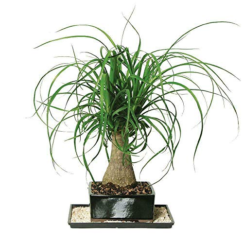 SmartMe Live Plant - Bonsai Ponytail Palm - 1 Plant - 1 Feet Tall - Ship in 6' Pot, for Gardening