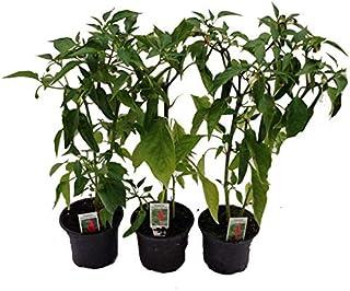 Peperoni, Peperoni Pflanze, Peperoni frisch, Peperoni würzen, Peperoni 3 Pflanzen