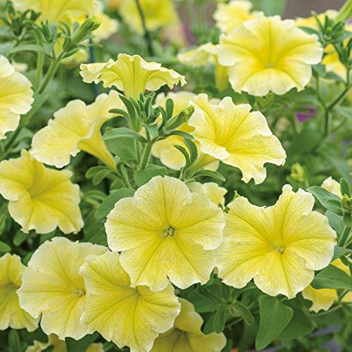 Pflanzen Kölle Petunie 'Viva® Deep Yellow', hängend, 6er-Set, gelb, Topf 13 cm Ø