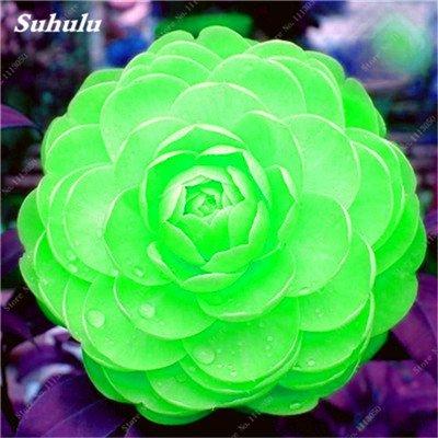 Grosses soldes! 10 Pcs Camellia Graines, Graines Bonsai Fleur, couleur rare, bonsaïs d'intérieur/extérieur Plante en pot pour jardin Facile à cultiver 20