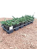 Cotoneaster 'Streibs Findling' Kriechmispel immergrüner Bodendecker im Topf gewachsen (10 Stück)
