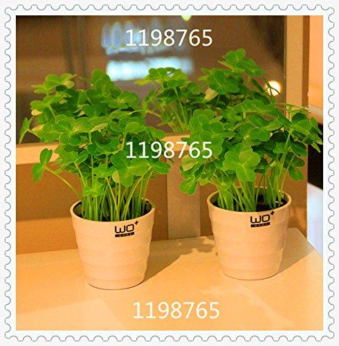 50pcs trèfle à quatre feuilles semences jardin Décoration Bonsai Fleur graines beauté chanceux