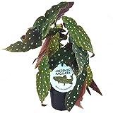 20-30cm Begonia Maculata Planta Manchada | Impresionante Planta Premium en Maceta para el Hogar | Planta para Regalar