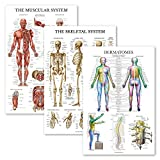 3 Pack - Muscle + Skeleton + Dermatomes Anatomy Poster Set - Muscular and Skeletal System Anatomical Charts - Laminated - 18' x 27'