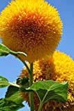 semi di girasole 20 / confezione (helianthus annus) biologico non ogm giardino domestico sole soleggiato semi di fiori semi impollinati aperti per la semina (orsacchiotto girasole)