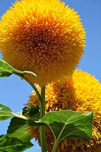 Lot de 20 graines de tournesol (Helianthus annus) bio non-OGM pour la maison Jardin Sunny Sun Flower Seeds Open Pollinated Seeds for Planting - Teddy Bear Sunflower