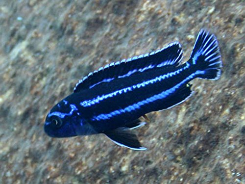 Pair Of Electric Blue Maingano African Cichlid Live Tropical Aquarium Fish Buy Online In Bosnia And Herzegovina At Desertcart