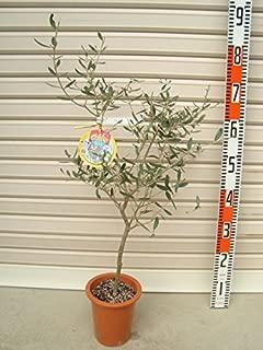 【オリーブ苗木[T]】 アレクーゾ 3年生苗 5号鉢 【ガーデンストーリーの苗木】