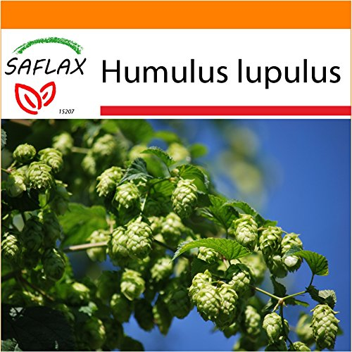 SAFLAX - Garden in the Bag - Heilpflanzen - Echter Hopfen - 50 Samen - Mit Anzuchtsubstrat im praktischen, selbst aufstellenden Beutel - Humulus lupulus