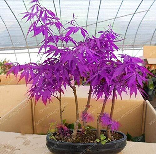 GETSO Lila Ahorn Bonsai Seltene Himmel Japanischer Ahorn Balkon Pflanzen für Indoor-Baum-Hausgarten-Dekoration Sehr schön: 30 Stück lila