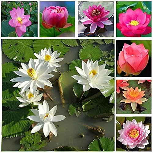 30Stücke Mischen Sie Lotus Samen Hohe Keimrate Seerose Blume Hausgarten Hof Dekoration Staude Wasser Wasser Merkmale Lotus Samen Leicht zu pflanzen