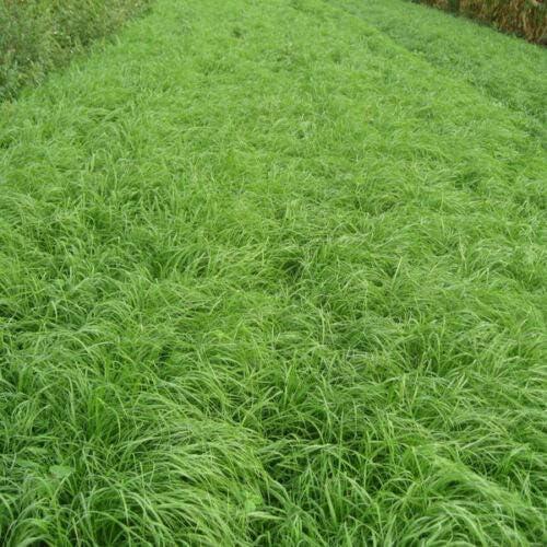 Ranking TOP15 Somarac - Tiffany Teff Seed price LB Grass 5