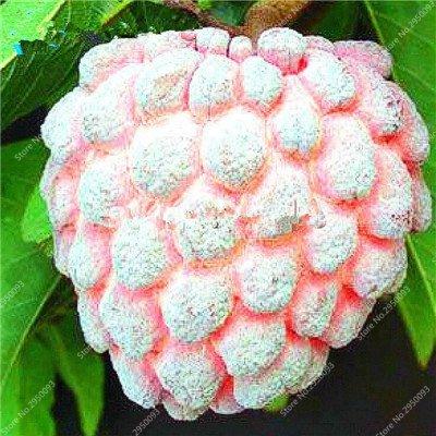 10pcs/sac de sucre rares Graines Bonsai Annona squamosa Plante en pot tête Fruit de Bouddha Custard Planta Garden Décor 5