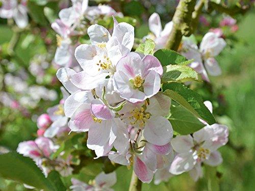 Apfelbaum Elstar - Malus Elstar Containerware - 120-160 cm - Garten von Ehren®