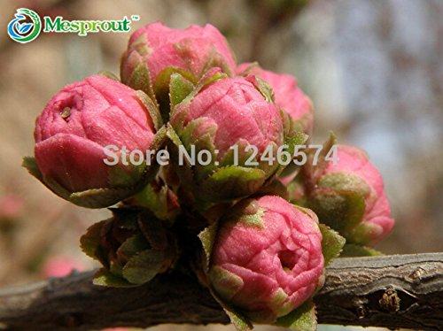 10PCS Prunus semences triloba, Rehmannia glutinosa, plantation en pot, Graines Prunier fleurissant de fleurs, plantes à fleurs