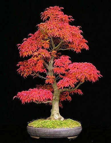 (Japonais # Rouge 4040) 40 Mini Beautiful Japanese Seeds Red Maple Bonsai, Bonsai * Japon diy Maple nouvelles semences * japonaises graines par arbre d'érable AMBIZU
