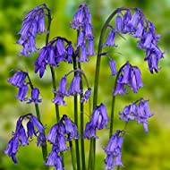 Bluebell Native English Seeds   seeds