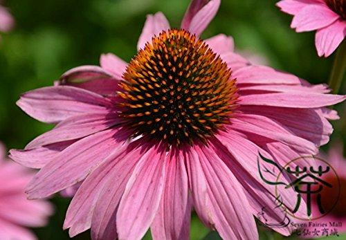 Nouveau jardin des plantes 200 Sweet Seeds MARJOLAINE Origanum Majorana Seeds Herb Flower