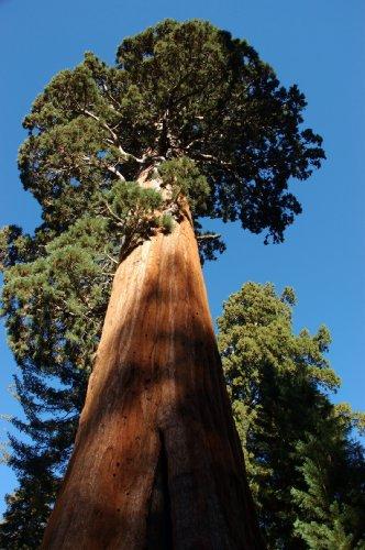 Set de cultivo para secuoya (Sequoia dendron giganteum) de Seedeo®, 50semillas