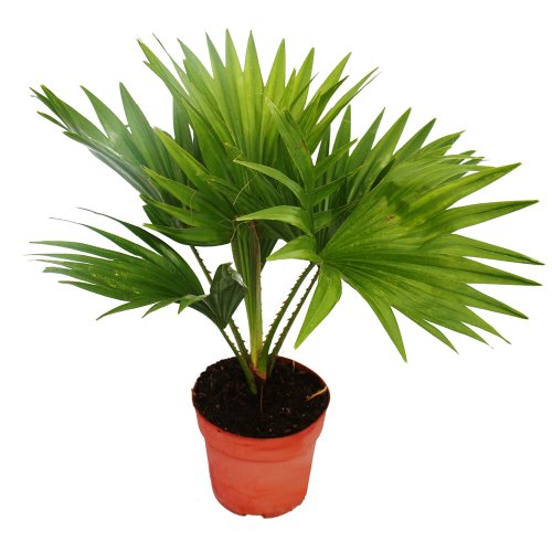 Exotenherz - Zimmerpalme - Livistona rotundifola - Zimmerpflanze