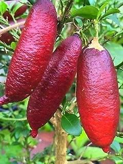 Heirloom Pink Australian Finger Lime Tree 10 Seeds by AchmadAnam