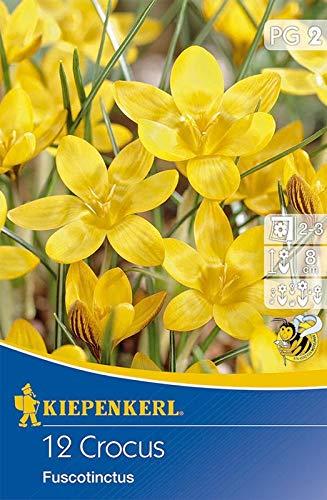 Kiepenkerl 504516 Botanischer Krokus Fuscotinctus (12 Stück) (Krokuszwiebeln)