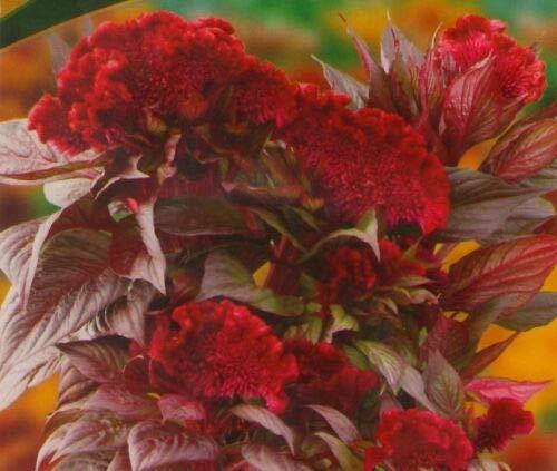 CRESTED COCKSCOMB (Celosia Argentea Cristata Toreador) 300 seeds