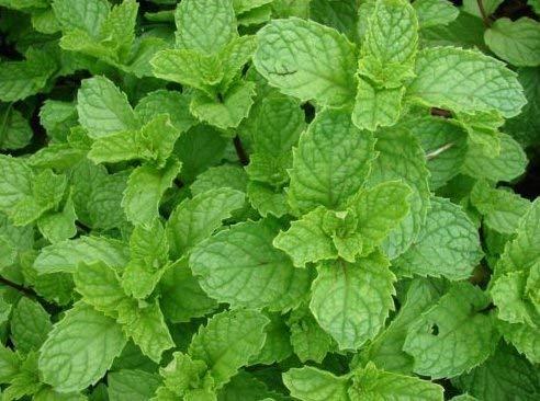 Menthe fraîche 250 graines Mentha spicata Cultivez votre propre herbe facile grandir