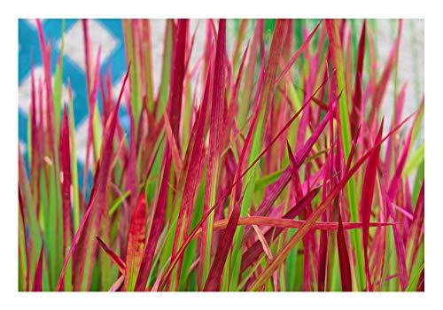 ZAC Wagner 2 Töpfe Japanisches Blutgras Roter Baron(Imperata cylindrica VAR. koenigii 'Red Baron') Eine Absolute Augenweide