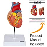 Axis Scientific Heart Model, 2-Part Deluxe Life Size Human Heart Replica with 34 Anatomical Structures, Held Together with Magnets, Includes Mounted Display Base, Detailed Product Manual and Warranty
