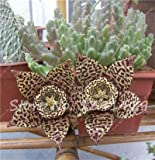 ChinaMarket 100pcs / bag Stapelia Pulchella Samen Leopard-Haut Succulents Lithops Blumen Pflanzen