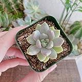 Live Plant - Sedeveria Lilac Mist Succulent, in 2 inches Pot - Succulent Plant