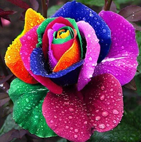 100 Seeds Rare Holland Rainbow Rose Flower Lover Multi-Color Plants Home Garden Rare Rainbow Rose Flower Seeds