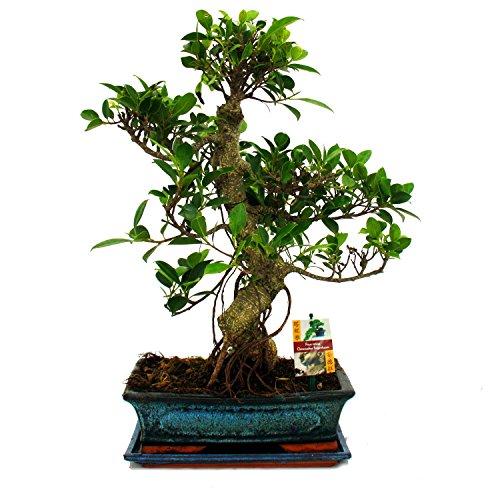 exotenherz - Bonsai Chinesischer Feigenbaum - Ficus retusa - ca. 12-15 Jahre
