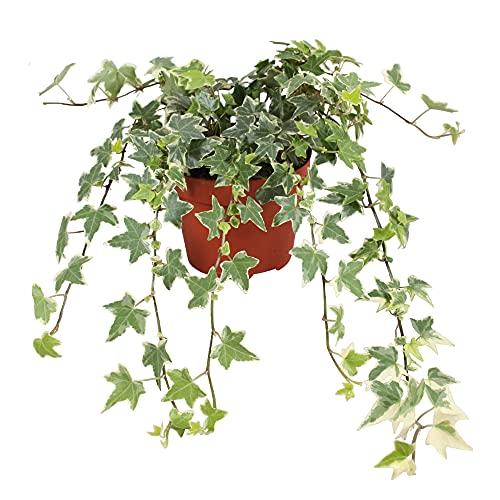 Hedera helix Eva | Gemeiner Efeu | Kletterpflanze | Höhe 25-30cm | Topf-Ø 13cm